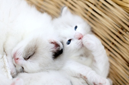 pictures of cute baby animals - giggling kitty