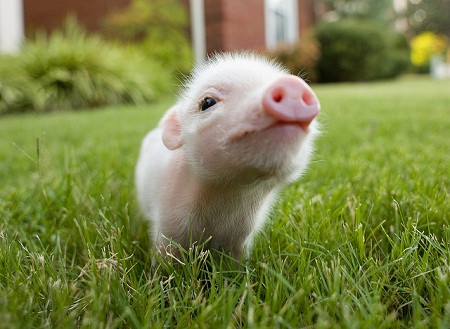 pictures of cute baby animals - micro pig