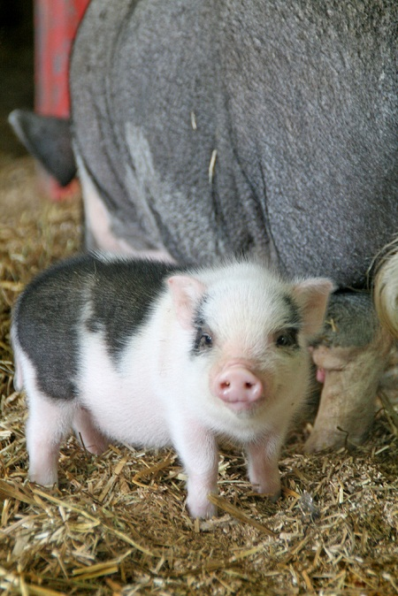 pictures of cute baby animals - pot bellied piglet