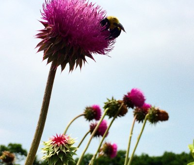 Bumble Bee and Thistle