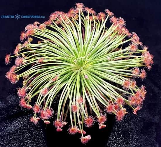 Drosera broomensis 'Taylors Lagoon, Kimberley, W.A.' (8 km West) (2)