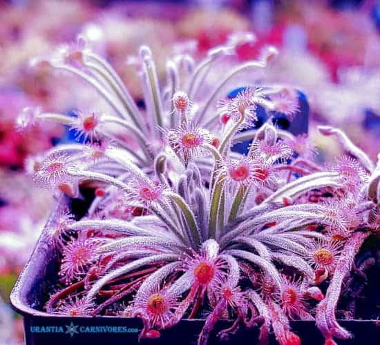 "Drosera lanata ""type"" Lotus Glen, Mareeba, North Queensland Cover"
