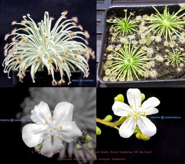 Drosera derbyensis 'Gibb River' x Drosera broomensis 'Ngadalargin wetland'
