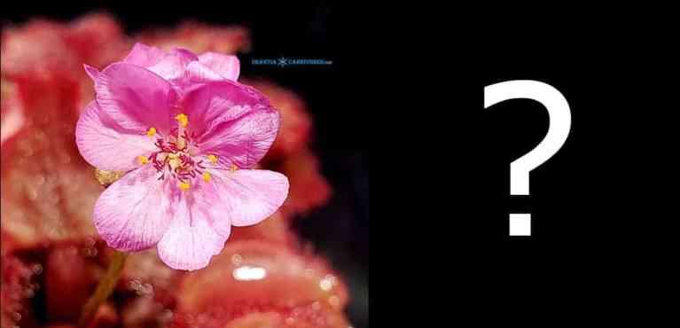 Drosera falconeri pink flower clone Hybrid Seeds