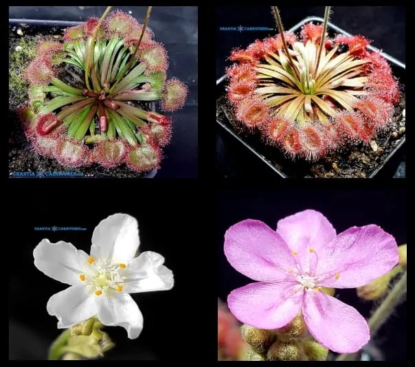 Drosera kenneallyi Mitchell Plateau x Drosera darwinensis \'Berrimah\' Seeds