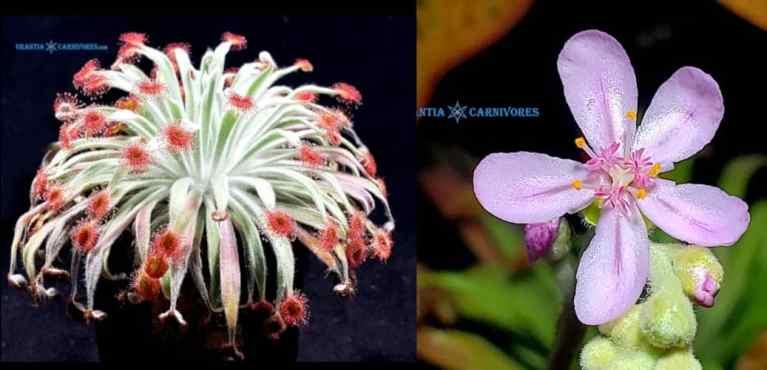 Drosera ordensis 'Lake Argyle, Kimberley' Seeds