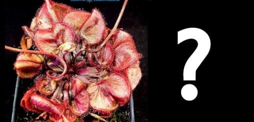 Drosera Crested Falconeri Hybrid Seeds