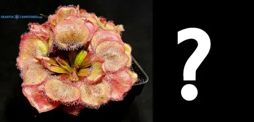 Drosera falconeri 'Wangi' x Mystery Plant