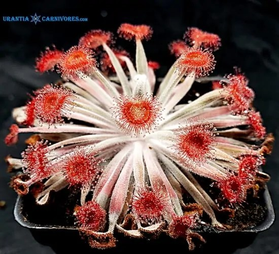 Drosera aff. ordensis 'Kingston Rest' (Relative)