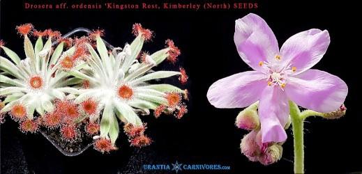 Drosera aff. ordensis 'Kingston Rest, Kimberley' (North) Seeds