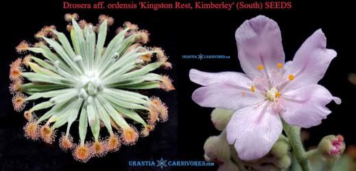 Drosera aff. ordensis 'Kingston Rest, Kimberley' (South) seeds