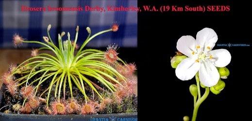 Drosera broomensis Derby, Kimberley, W.A. (19 Km South) SEEDS
