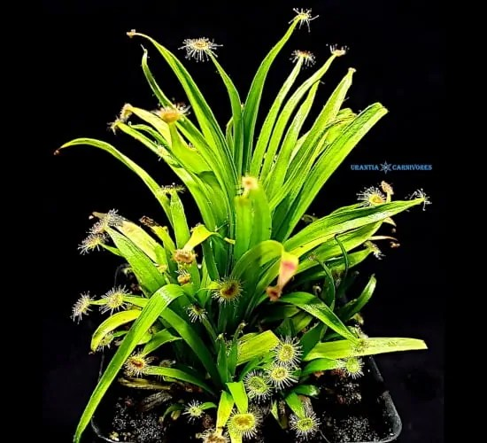 "Drosera caduca ""wide grass-like leaves 'Bachsten Creek, Kimberley' (3)"