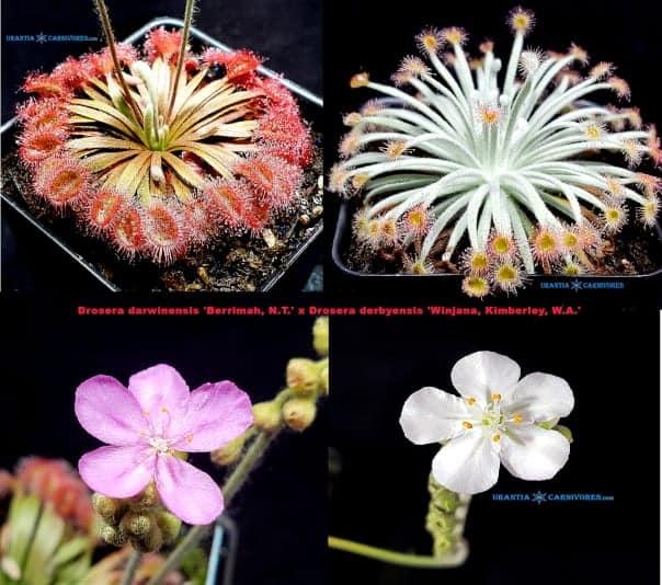 Drosera darwinensis 'Berrimah, N.T.' x Drosera derbyensis 'Winjana, Kimberley, W.A.' Seeds