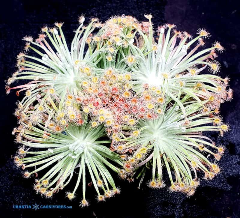 Drosera derbyensis 'Gibb River'