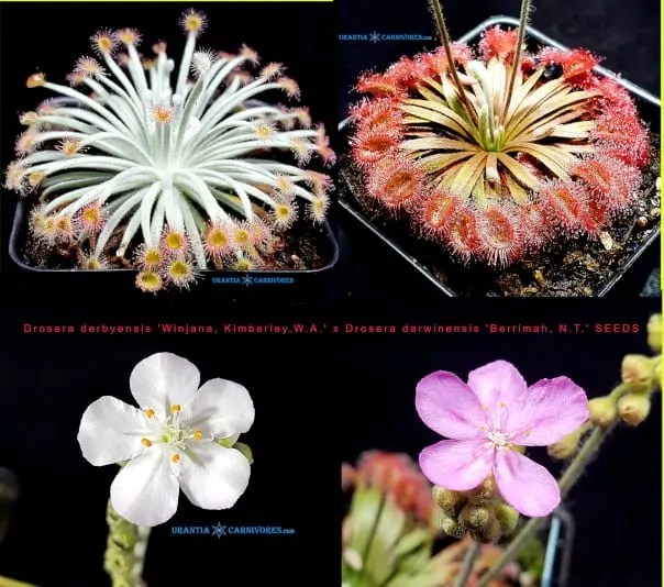 Drosera derbyensis 'Winjana' x Drosera darwinensis 'Berrimah' Seeds
