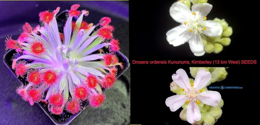 Drosera ordensis 'Kununurra' (13 km West) SEEDS