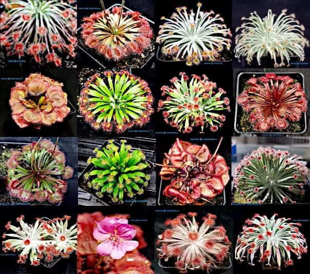 Drosera petiolaris complex mix seeds