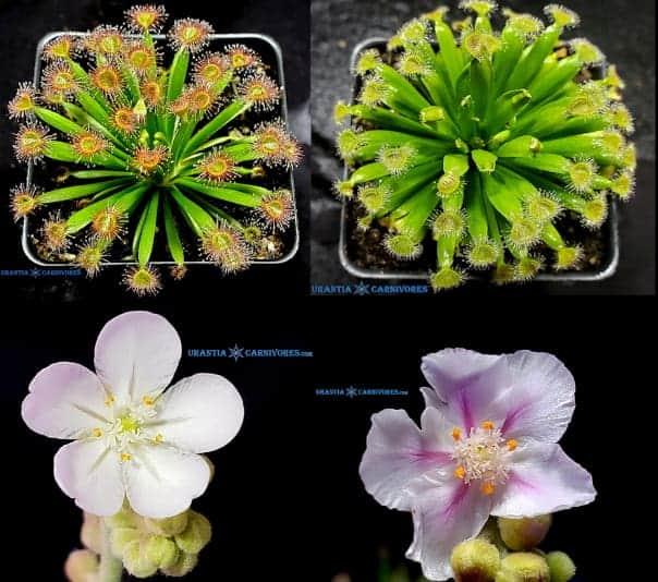 Drosera fulva 'Aposta' x Drosera fulva 'Girraween' Seeds