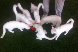 kissat turkki van-kissa