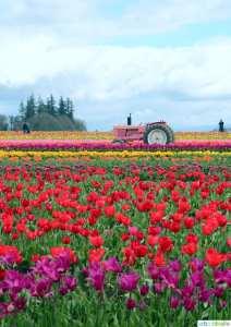 2016 Tulip Festival in Woodburn, Oregon on UrbanBlissLife.com
