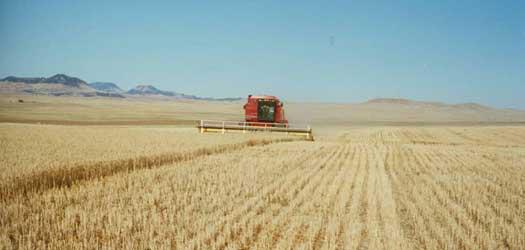 Grain Harvesting - photo by Montana Flour Company