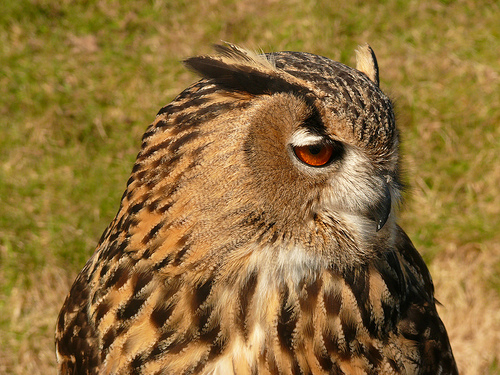 European Eagle Owl - photo by Mara 1