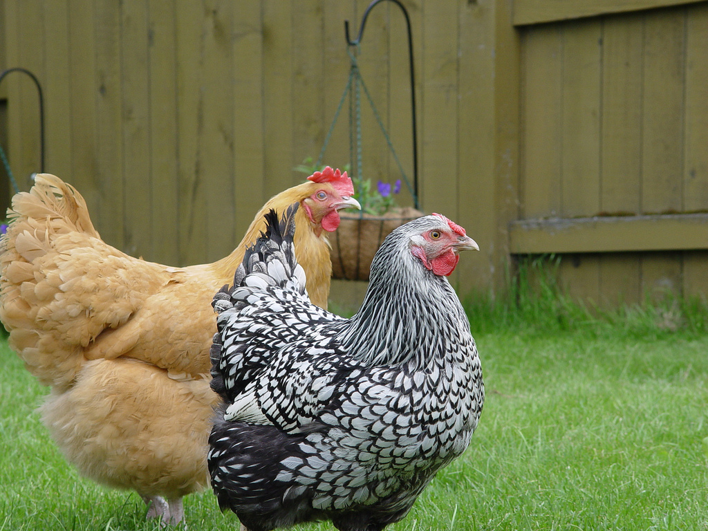 urban chicken podcast right to farm act ends protection urban