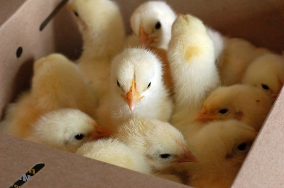 Chicks In A Box
