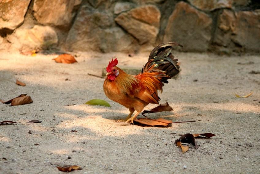 Ayam Serama - photo by Phalinn Ooi
