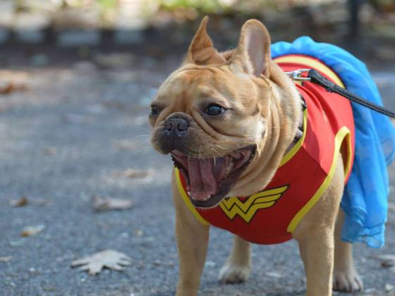 Wonder Woman Frenchie at the Tompkins Square Halloween Parade