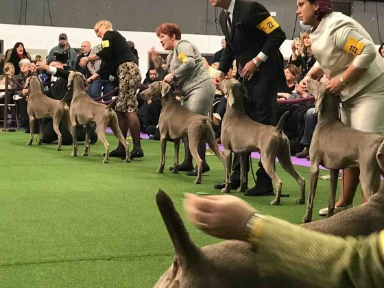 Westminster: Dog Show Handlers