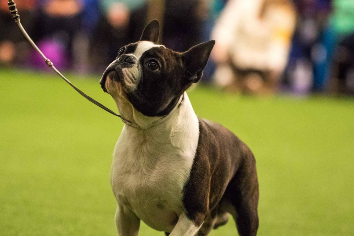 Boston Terrier (Photo: Natalie Siebers)