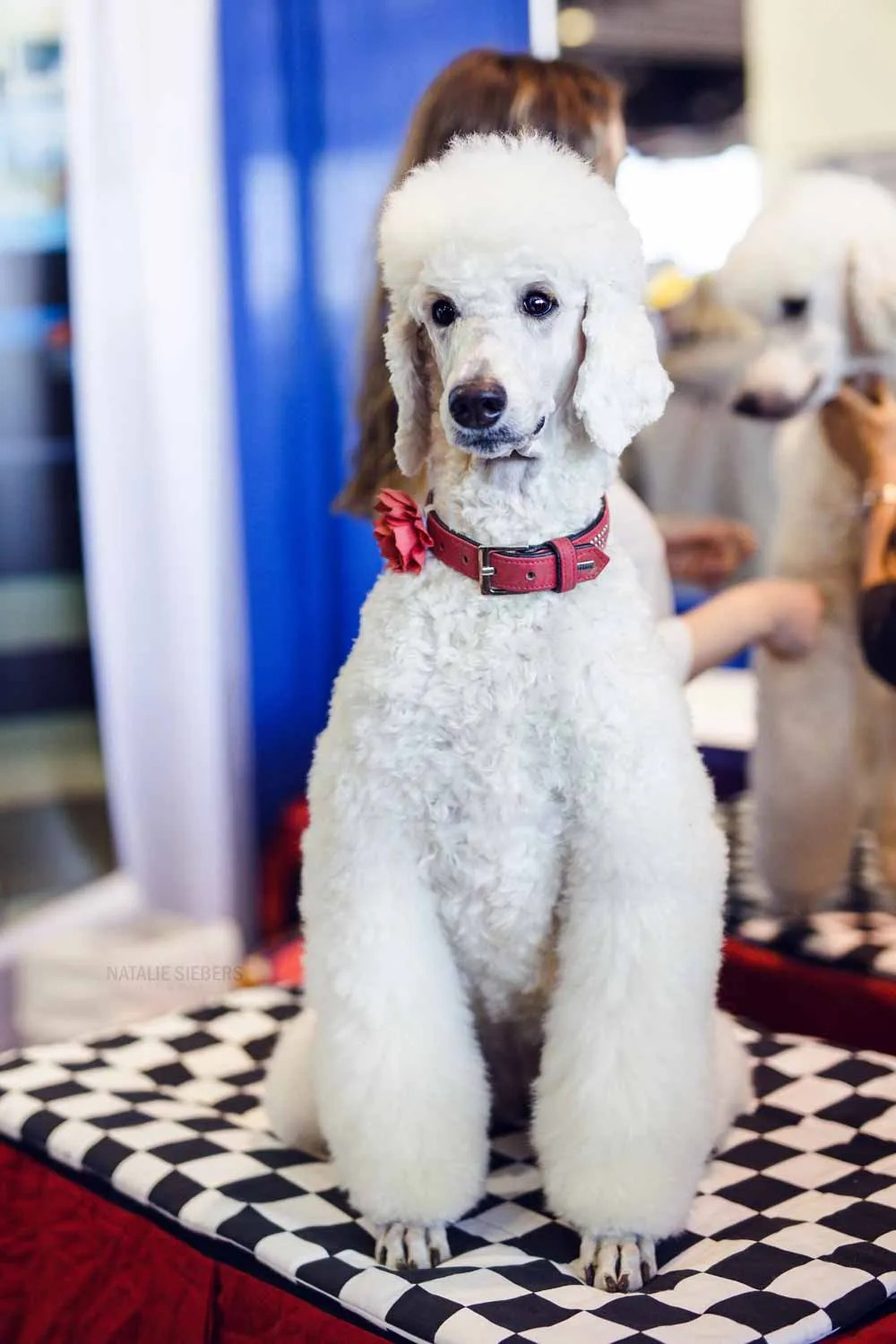 do poodles make good apartment dogs