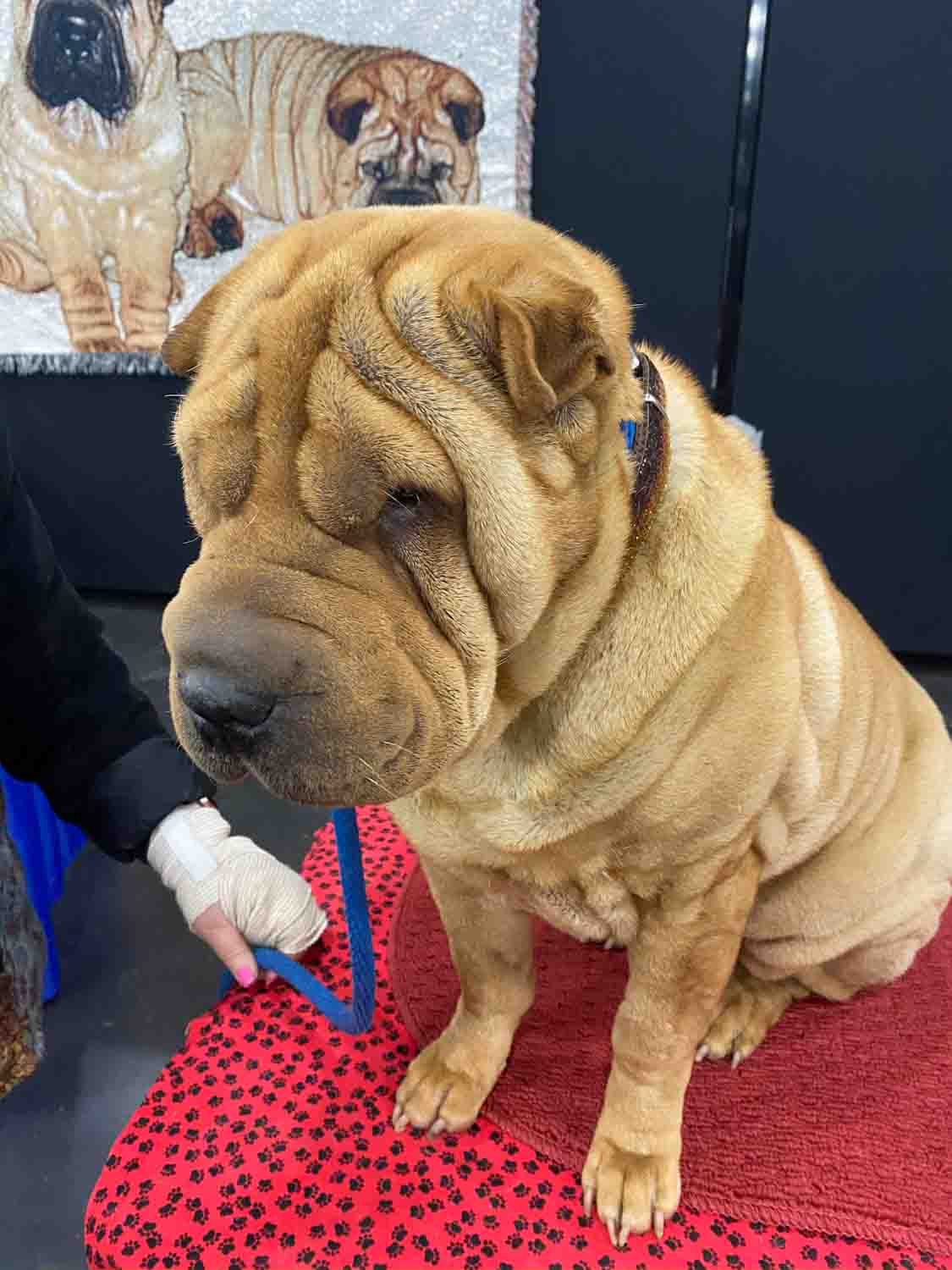 Are Shar Peis Good Apartment Dogs