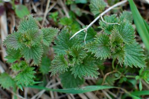 Young nettles are delicious!