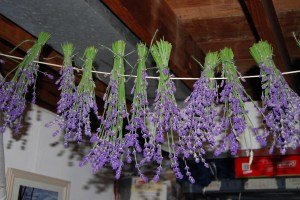Drying lavender in the basement.