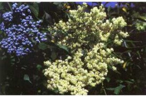 Sambucus Cerulea or Blue Elderberry