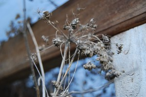 Seed pods from last year - what a waste!