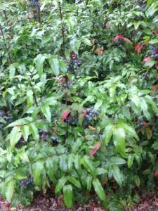 Oregon grape laden with berries