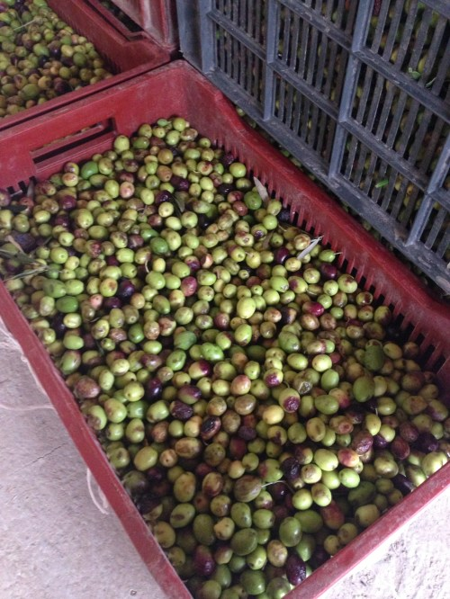 Olives to be made into oil