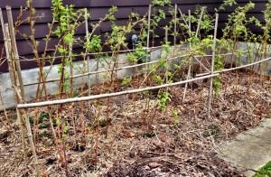 Bambood trellised raspberry canes.