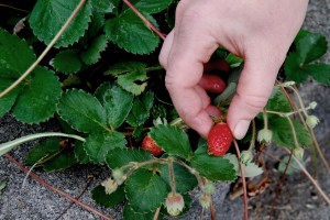 Strawberries are still being picked.