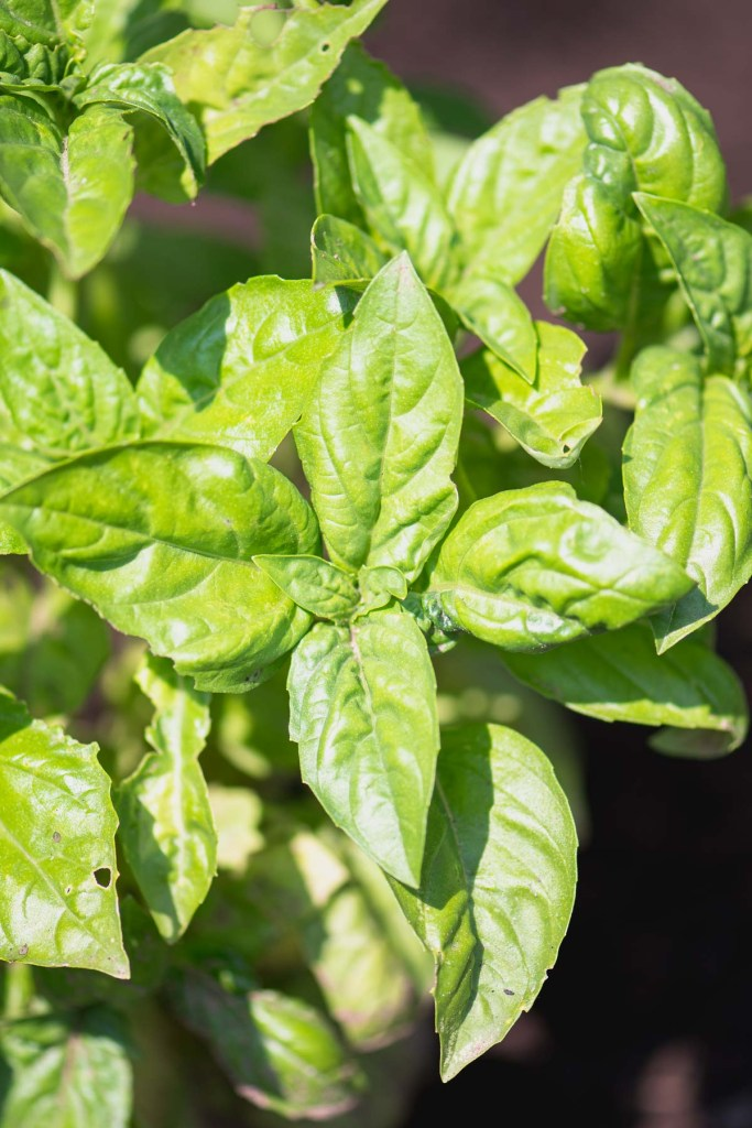 Close up of basil growing in the garden