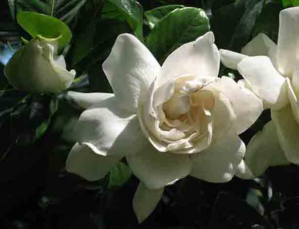 gardenias-orlando-sentinel