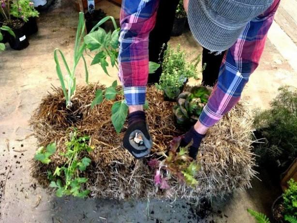 bale planting