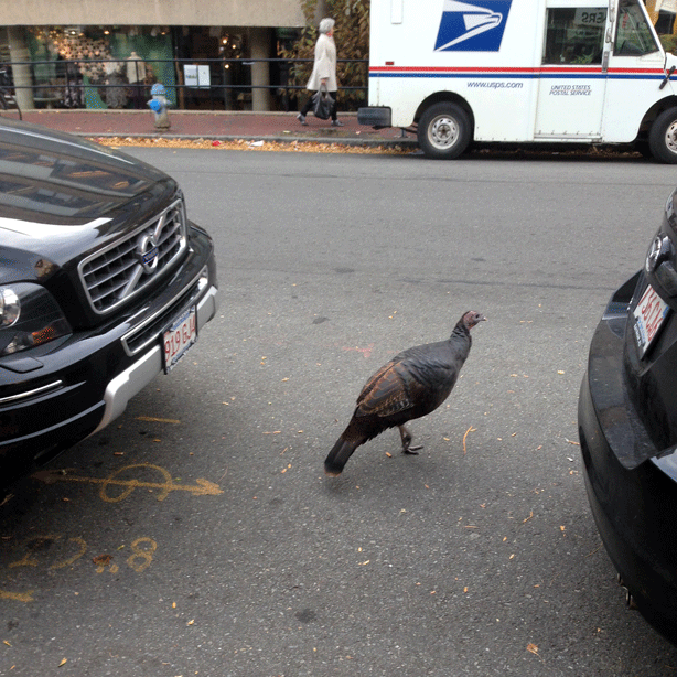 wild-turkey-between-cars-cambridge