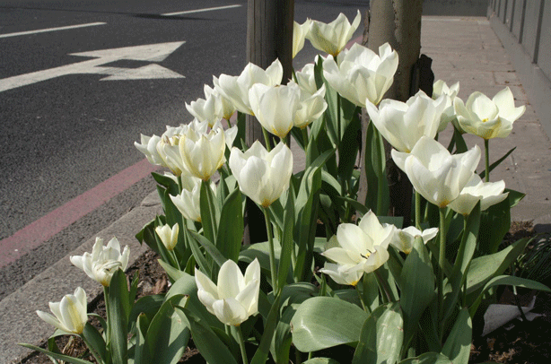 Richard-Reynolds-guerrilla-gardener-london-planting-guerrilla-garden-tulips-london