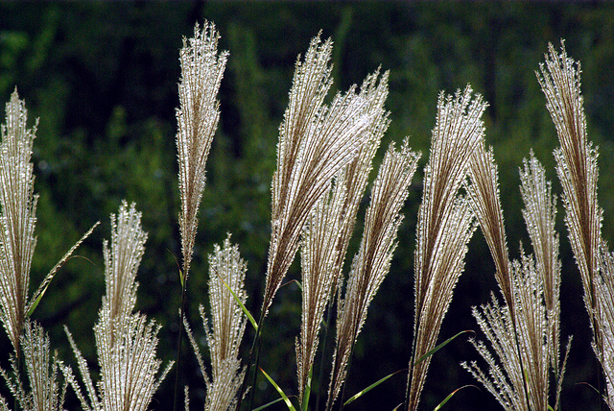 ornamental-grasses2-urbangardensweb