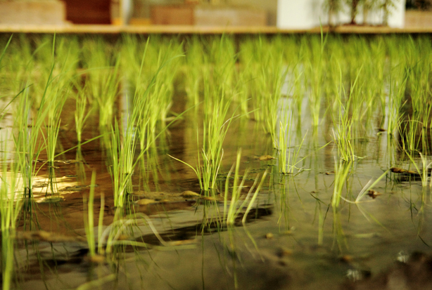 pasona-rice-paddy2-urbangardensweb